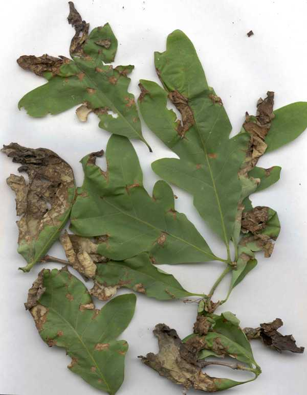 Anthracnose treatment