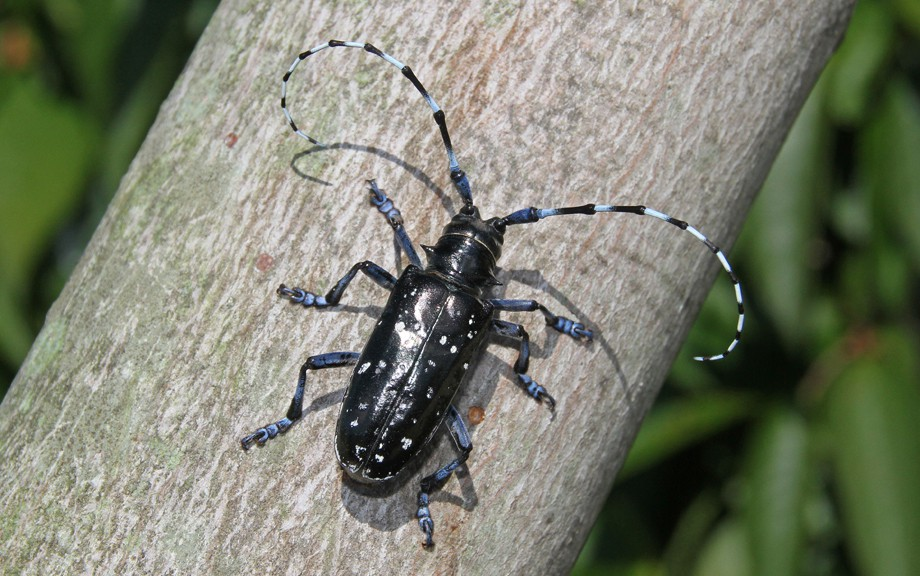 Asian longhorn beetle pic